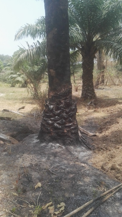 Palms set on fire by herdsmen1